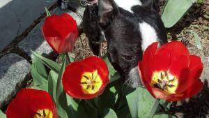 tulips and puppies