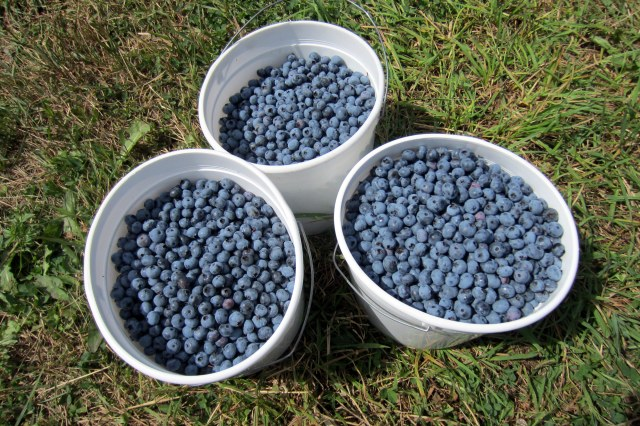 Blueberry Picking at Glenhaven